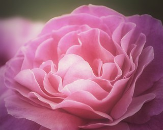 Mom's Rose | by Sharon LuVisi