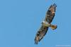 Águia de Bonelli, Bonelli's eagle (Aquila fasciata) by Vasco VALADARES