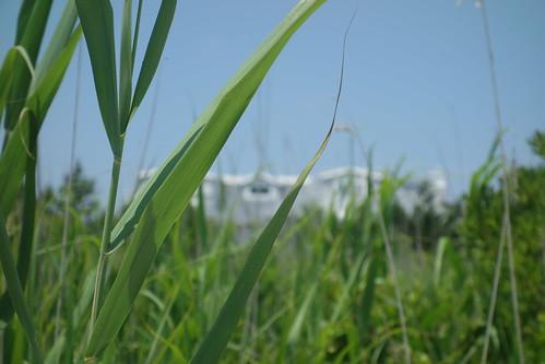 newjersey avalon dune grass summer green