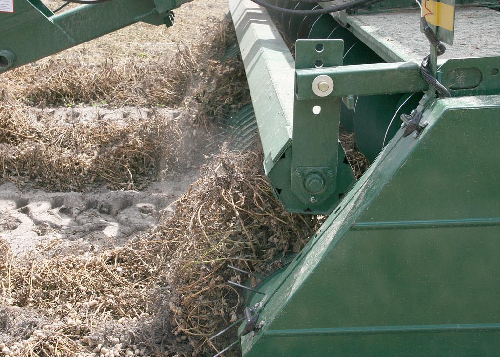 Peanut harvesting 6