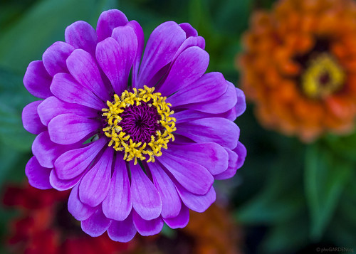 Magenta Zinnia | by Mike McRoberts Photography
