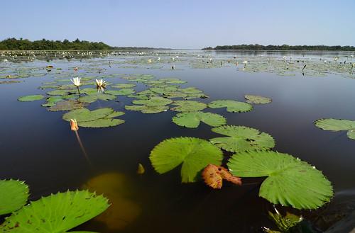 africa lake water lago guinea westafrica acqua nymphaea lagoas ninfea guineabissau absolutelystunningscapes guinèbissau africaoccidentale guinè lagoasdecufada cufada
