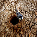 Flickr photo 'White-breasted Nuthatch preparing cavity for nesting' by: muscogeegirl.