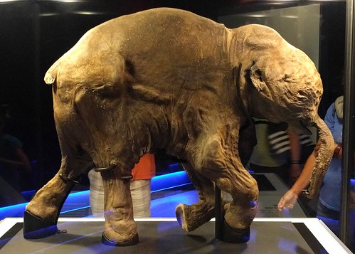 Lyuba the mummified baby mammoth | by Ruth and Dave