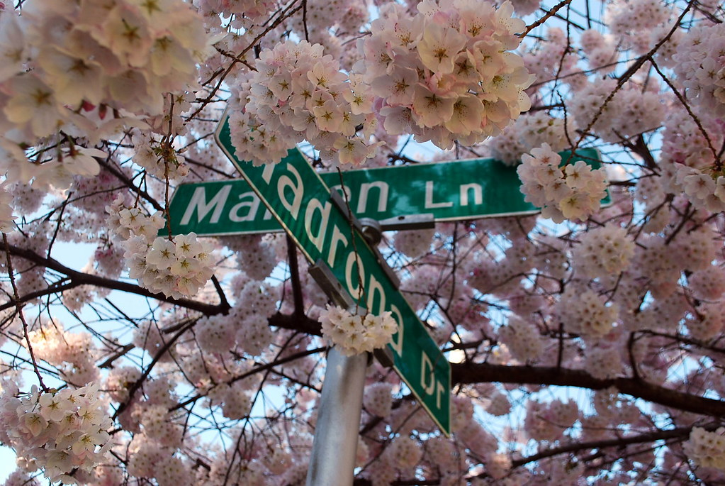 Cherry blossoms partially covering the street signs for Maiden Lane and Madrona Drive in Seattle