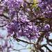 JacarandaTrees in the square por Robert Bortolin