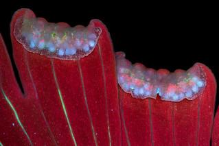 Autofluorescence in fern sori | by pwnell