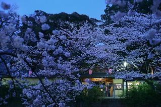 Sakura@kanda-river_Tokyo_01