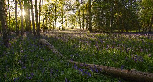bluebell wood sunset