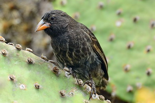 Кактусовый земляной вьюрок, Geospiza scandens intermedia, Common Cactus-Finch | by Oleg Nomad