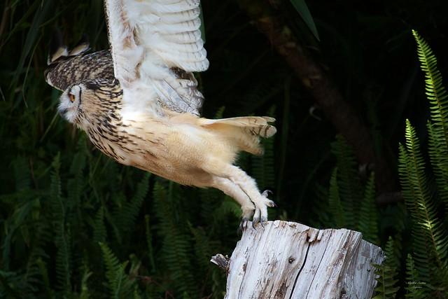 Bufo Real (Eurasian eagle-owl)