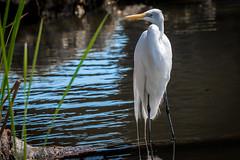 egret on crane