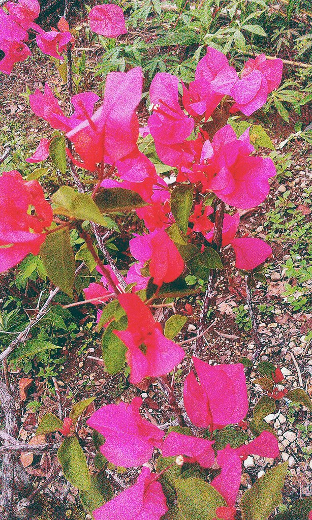 Bunga Kertas Merah Photography Nature Flowers Adi Kiefer Flickr