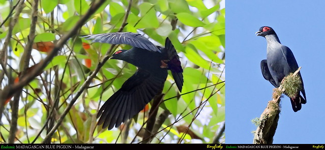 (Species #1213) Endemic  MADAGASCAN BLUE PIGEON - [ Ranomafana National Park, Madagascar ]