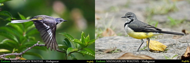 (Species #1227 )Endemic MADAGASCAN WAGTAIL - [ Ranomafana Nat.Park, Madagascar ]
