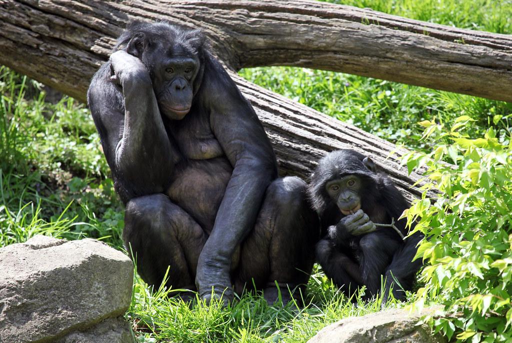 Cincinnati Zoo Mom Amp Baby Bonobo 169 All Rights