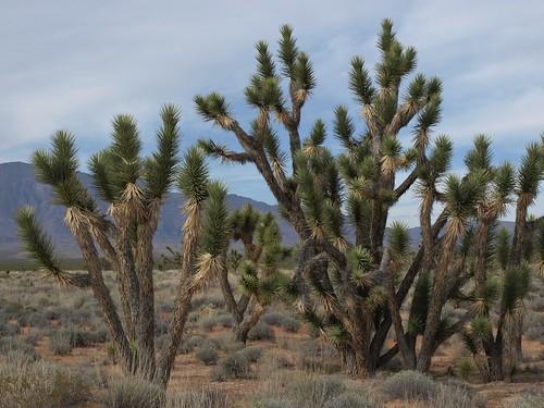 eastern Joshua tree, Yucca jaegeriana