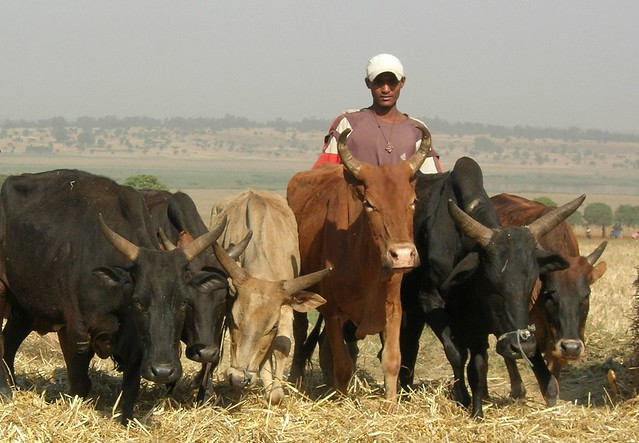Maize, finger millet and cattle in Ethiopia