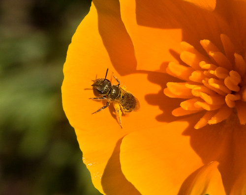 TinyBee_on_Poppy_8530a | by JKehoe_Photos