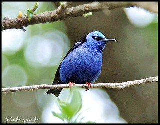 Red-legged Honeycreeper | by flickr quickr