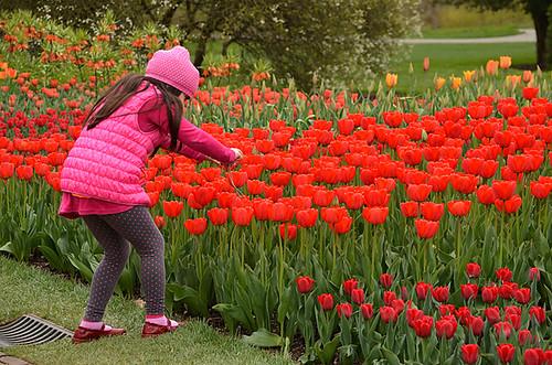 Longwood Tulips -07 Joe   by KathyCat102