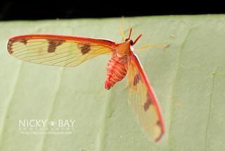 Derbid Planthopper (Derbidae) - DSC_6520