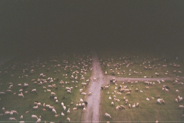 Nightmare of pilots: sheep on the runway - I shot film