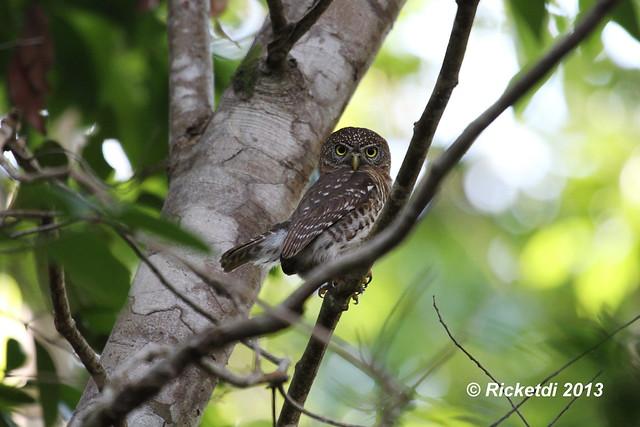 chevêchette de cuba - cuban pygmy owl-Glaucidium siju