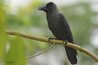 Crow | by Beegee49