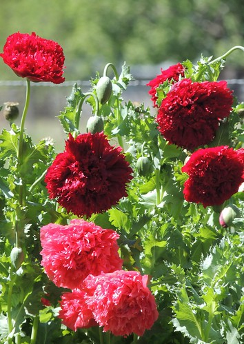 red wild beautiful garden country double poppies feathery