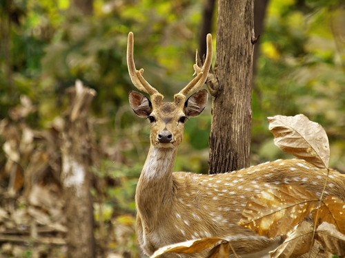 Chital (Axis axis), Rajaji National Park, India