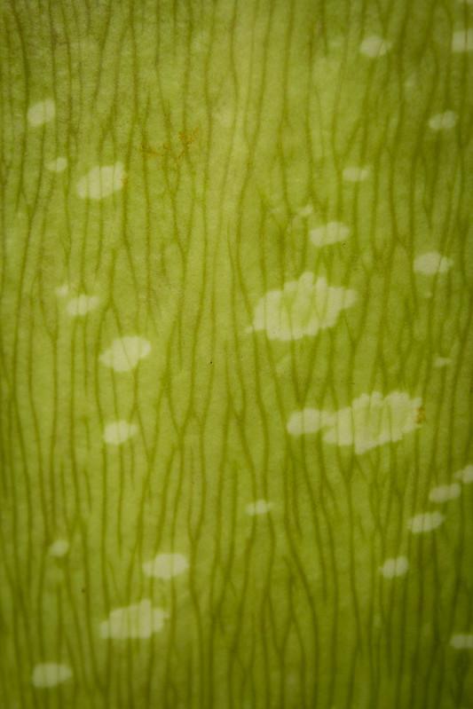 Titan Arum (Amorphophallus Titanum)
