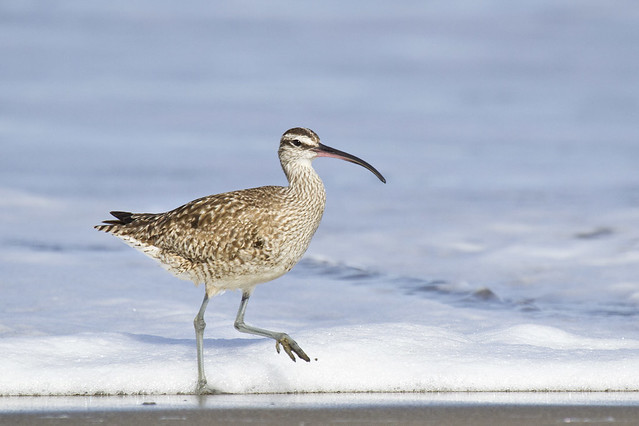 Whimbrel Stepping at Surf Line