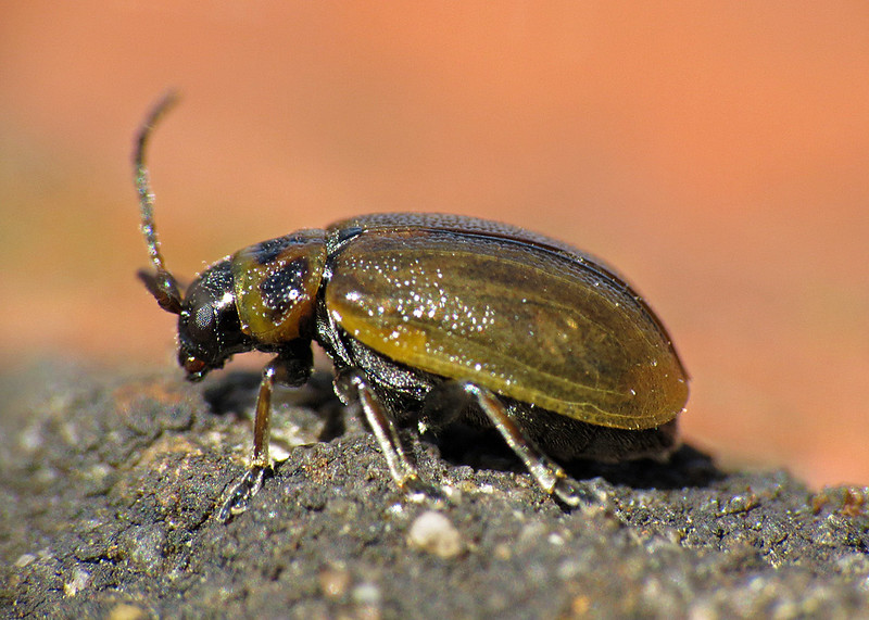 Heather Beetle - Lochmaea suturalis