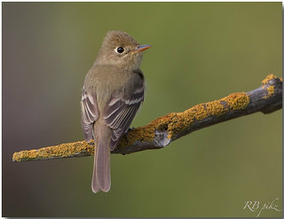 Pacific-slope Flycatcher | by L@@k-Around