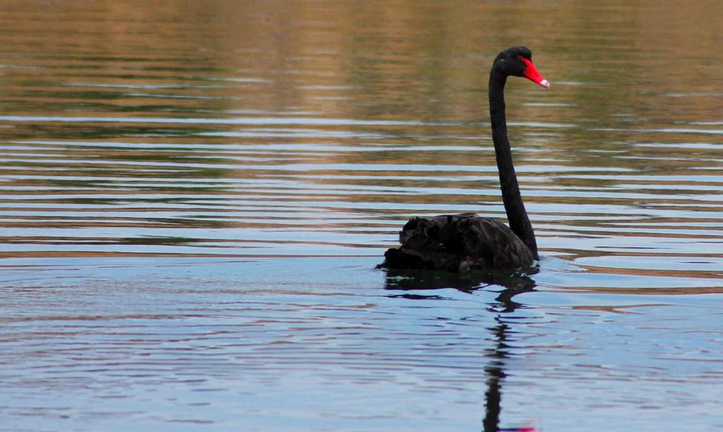 Black Swan Noarlunga Adelaide #dailyshoot