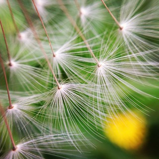 蒲公英の綿毛 #dandelion #puff. #puffball #parachute #macro #olloclip | by norio_nomura