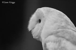 Black & White Barn Owl