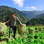 DAO-10162 中橫-南山-高山蔬菜-刈菜,長年菜