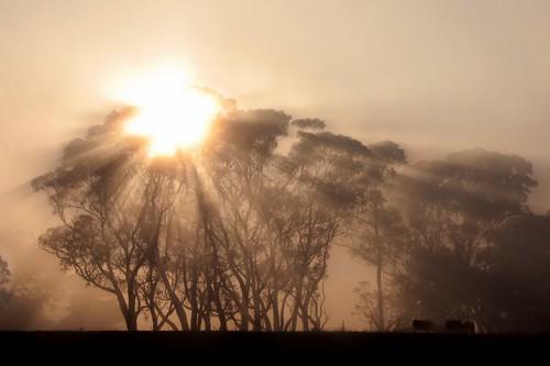 morning autumn trees sun cold weather silhouette fog rural sunrise canon dawn day cattle cows farm foggy australia victoria vic rays canonpowershots2is sunbeams eucalypts canonpowershot gippsland warragul gumtrees auspctagged pc3820 phunnyfotos