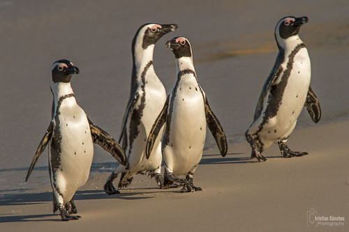 pingüino de El Cabo  African penguin (Spheniscus demersus) | by Christian Sanchez Photography