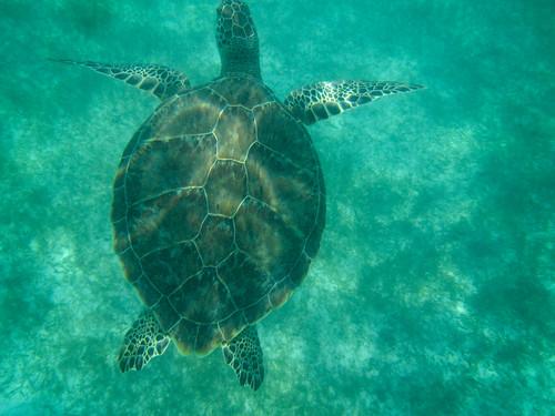 Sea Turtle | by GardenBluesPhotography