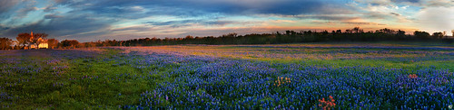 flowers panorama field sunrise landscape dawn texas panoramic bluebonnets