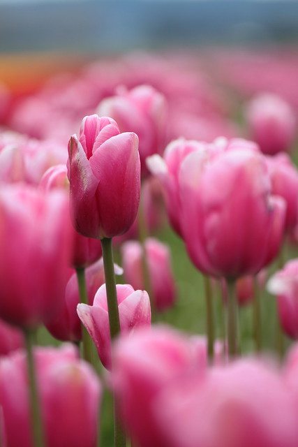 105/365: A Cloud of Pink Tulips