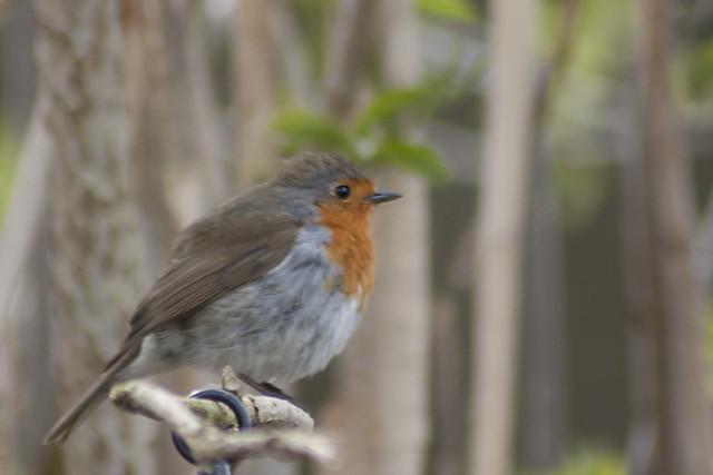 116 of 365 Robin