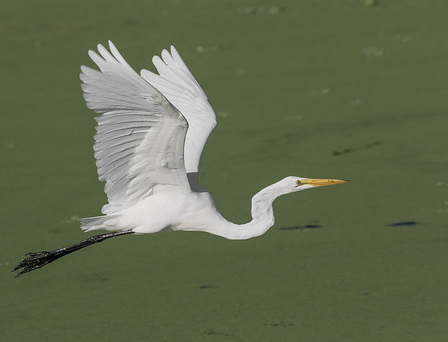 Great Egret Fly