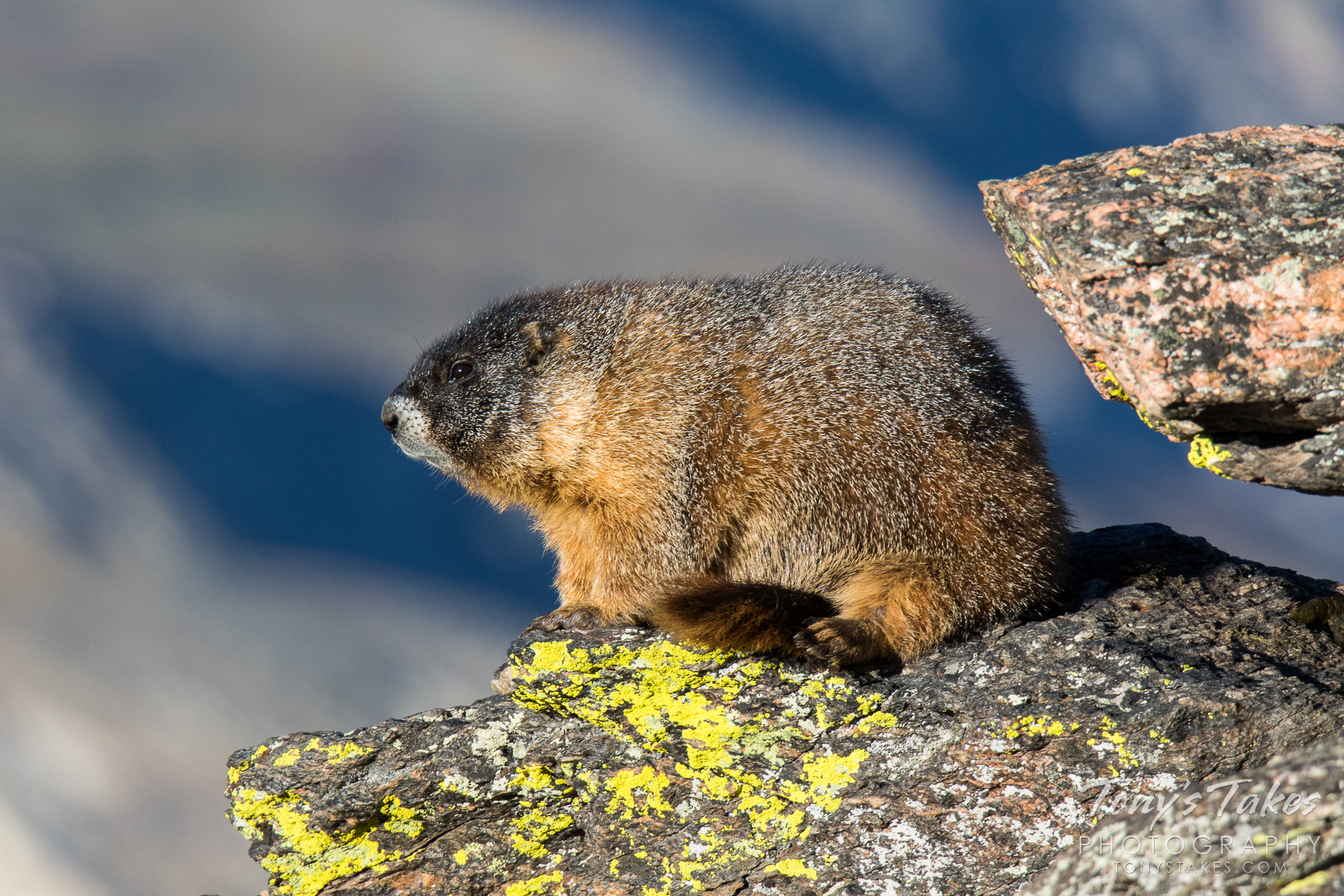 A grumpy-looking marmot in Rocky Mountain National Park, Colorado. (© Tony's Takes)