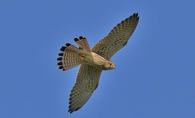 Kestrel      (Falco tinnunculus)        (Explored)     04-10-2016