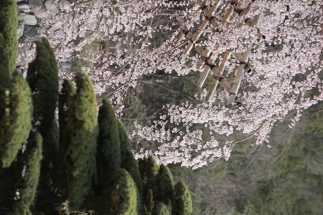 日本庭園 桜 Cherry Blossoms - 念佛宗(念仏宗無量寿寺) 兵庫県加東市051
