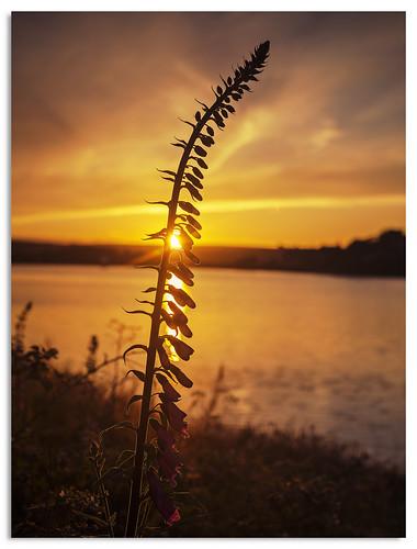 foxgloves leeming leemingreservoir sunset water reservoir yorkshire 2016 d600 ngc nikonfxshowcase
